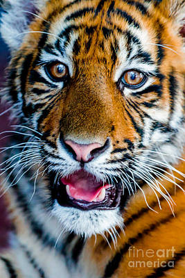 Photograph - Tiger by Ray Shiu