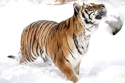 Photograph - Tiger Ready by Athena Mckinzie