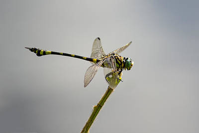 Tiger Dragonflies Photograph - Tiger Ready For Take-off by Teale Britstra