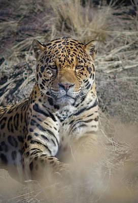 Photograph - Jaguar by Rick Mosher