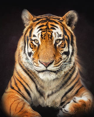 Photograph - Tiger by Ron  McGinnis