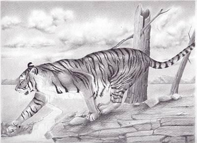 Stillness Drawing - Tiger by Tashi Delek