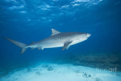 Photograph - Tiger Shark by Dave Fleetham - Printscapes