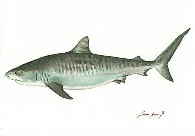 Hammerhead Shark Painting - Tiger Shark,  by Juan Bosco