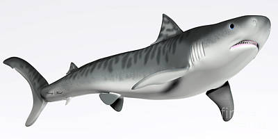 Tiger Shark On White Art Print by Corey Ford