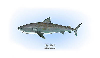 Fish Drawing - Tiger Shark by Ralph Martens