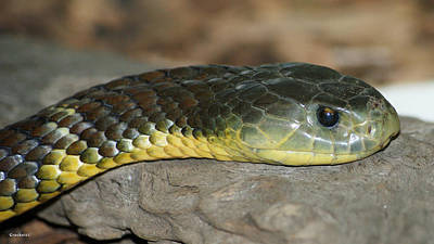 Photograph - Tiger Snake 1 by Gary Crockett