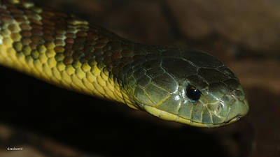 Photograph - Tiger Snake 4 by Gary Crockett