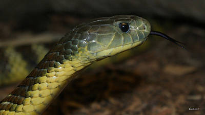 Photograph - Tiger Snake 5 by Gary Crockett