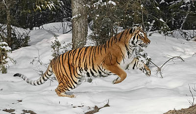 Photograph - Tiger Springing Into Action by Wes and Dotty Weber