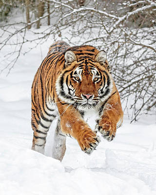 Photograph - Tiger Sprint by Wes and Dotty Weber