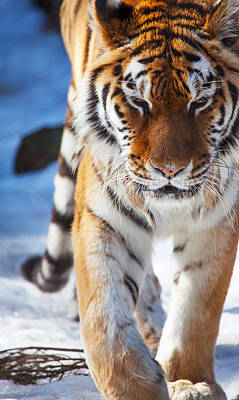 Photograph - Tiger Strut by Karol Livote
