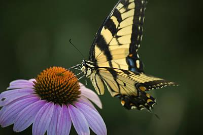 Fluttering Photograph - Tiger Swallowtail 1 by Teresa Mucha