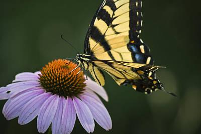 Blue Swallowtail Photograph - Tiger Swallowtail 2 by Teresa Mucha