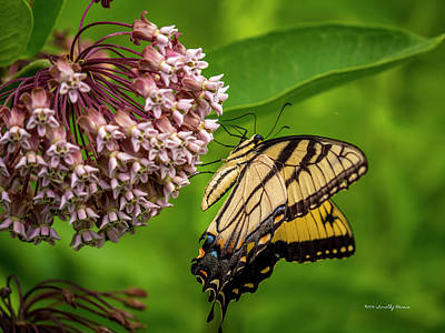Photograph - Tiger Swallowtail #210 by Timothy Harris