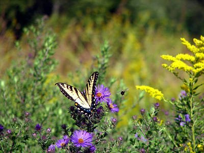 Photograph - Tiger Swallowtail And Bee by George Jones