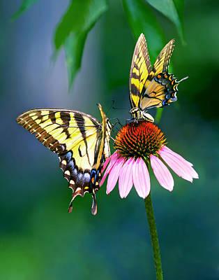 Photograph - Tiger Swallowtail Butterflies by Carolyn Derstine