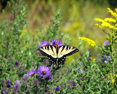 Photograph - Tiger Swallowtail Butterfly 1 by George Jones
