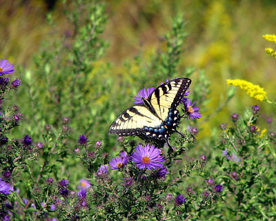 Photograph - Tiger Swallowtail Butterfly 2 by George Jones