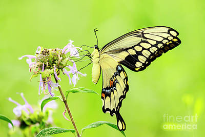 Photograph - Tiger Swallowtail Butterfly by Ben Graham