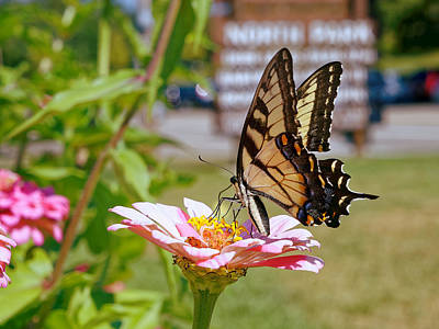 Butterfly Photograph - Tiger Swallowtail Butterfly by Charles Muziani