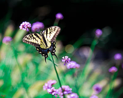 Photograph - Tiger Swallowtail Butterfly by Chris Lord