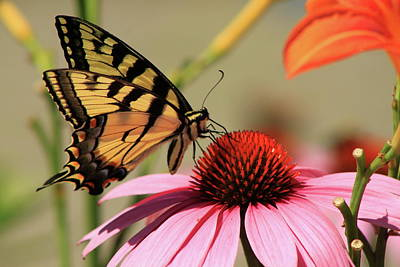 Photograph - Tiger Swallowtail Butterfly Coneflower by John Burk