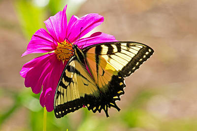 Tiger Swallowtail Butterfly. Art Print by David Freuthal
