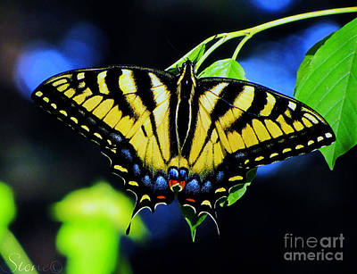 Photograph - Tiger Swallowtail Butterfly by September  Stone