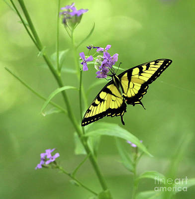 Photograph - Tiger Swallowtail Butterfly by Elizabeth Winter