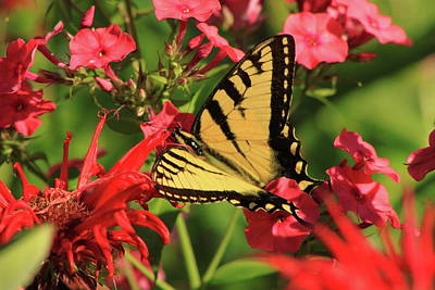 Photograph - Tiger Swallowtail Butterfly Garden by John Burk