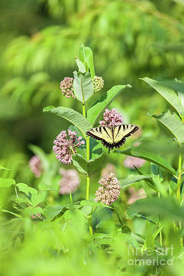 Photograph - Tiger Swallowtail Butterfly In The Blue Ridge by Dan Carmichael