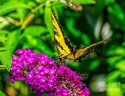 Photograph - Tiger Swallowtail Butterfly In The Garden by Nick Zelinsky