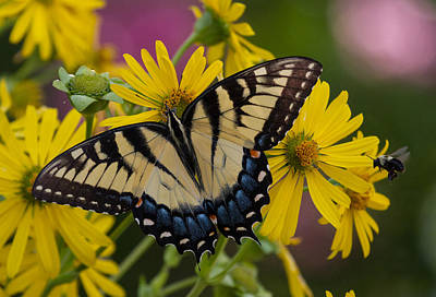 Photograph - Tiger Swallowtail Butterfly by Jerry Gammon