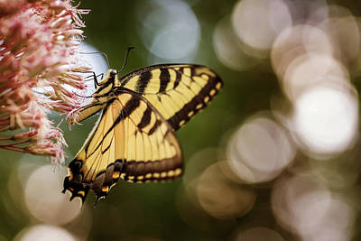 Photograph - Tiger Swallowtail Butterfly by Jessica Nelson