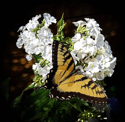 Photograph - Tiger Swallowtail Butterfly by Joe Duket
