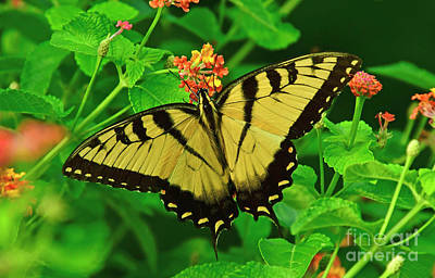 Photograph - Tiger Swallowtail Butterfly by Kathy Baccari