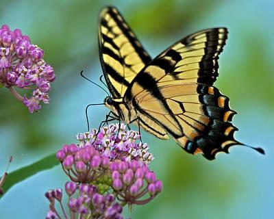 Tiger Swallowtail Butterfly Print by Mark Preston