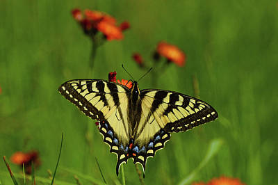 Photograph - Tiger Swallowtail Butterfly by Nancy Landry