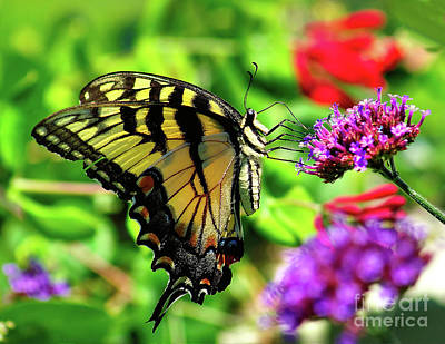 Photograph - Tiger Swallowtail Butterfly by Nick Zelinsky