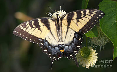 Photograph - Tiger Swallowtail Butterfly On Button Bush by Robert E Alter Reflections of Infinity