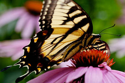 Art Print featuring the photograph Tiger Swallowtail Butterfly On Coneflower by Jane Melgaard