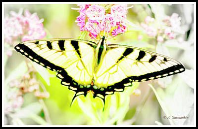 Photograph - Tiger Swallowtail Butterfly On Milkweed Flowers by A Gurmankin