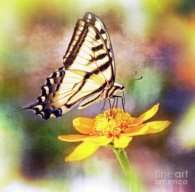 Photograph - Tiger Swallowtail Butterfly On Orange Flower by Jim And Emily Bush