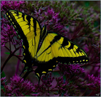 Photograph - Tiger Swallowtail by Chris Lord
