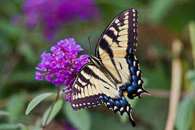 Photograph - Tiger Swallowtail by David Freuthal