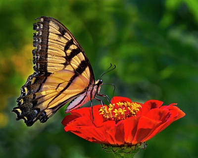 Photograph - Tiger Swallowtail by Jamieson Brown