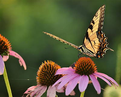 Photograph - Tiger Swallowtail by JD Grimes