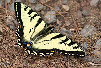 Tiger Swallowtail Art Print by Jeff VanDyke