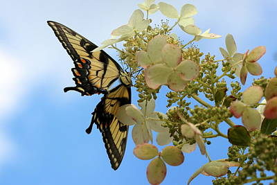Photograph - Tiger Swallowtail by Joseph Skompski